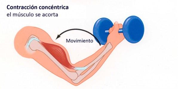 Contracción muscular concéntrica
