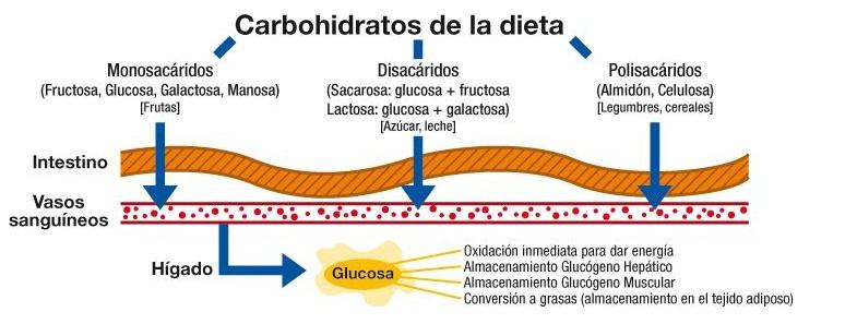 función de los carbohidratos