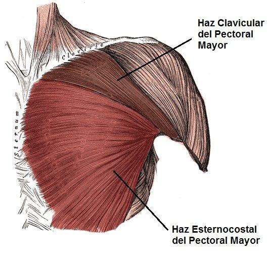 músculos del pectoral mayor