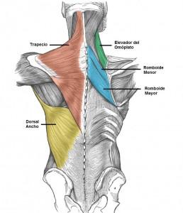 los musculos de la columna: