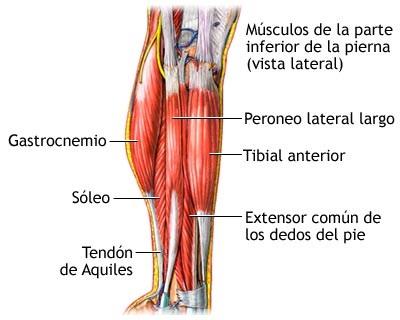 musculos de la pantoriila o gemelo