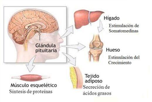 efectos-de-hormona-de-crecimiento-natural