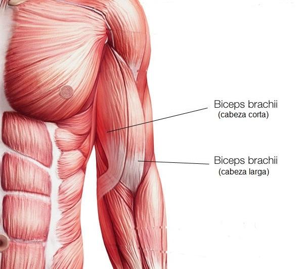 partes del biceps