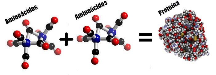 formacion-de-proteinas