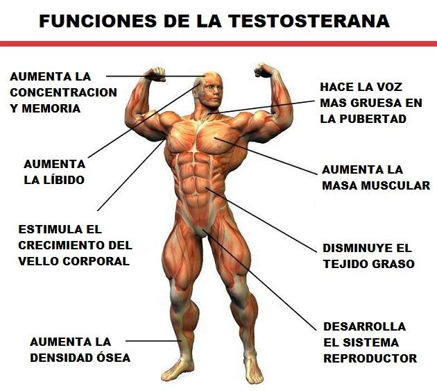 Funciones de la Testosterona
