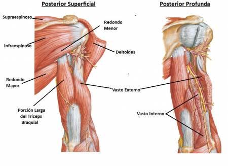 Los Músculos de los Brazos y Antebrazos » MT