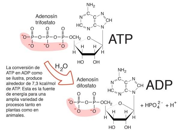 ATP Y ADP